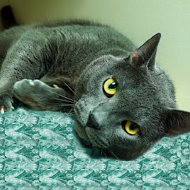 Fairbanks by Holly Dean - Animals - Cats Portraits ( cat, grey, lazy, handsome, portrait,  )