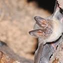Round-eared bat