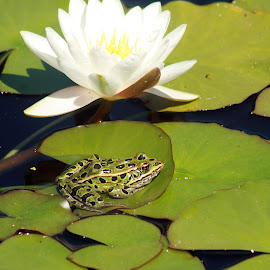 Frog on Lily Pad by Robert Hamm - Animals Amphibians ( wild animal, water, canada, frog, green, winnipeg, amphibian, lily pad, manitoba, spot, nature, outdoor, water lily, pond, animal )