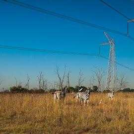 Power Stripes by Jon Feldman - Landscapes Travel ( nature reserve, power lines, south africa, rietvlei, zebra )