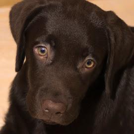 Axel by Borovskoy Alexey - Animals - Dogs Portraits ( лабрадор, глаза, щенок, д7100, ретривер, взгляд, никон, 1.4d, аксель, коричневый, 50 )
