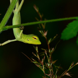 The Green Lizard by Pradeep Krishnan - Animals Reptiles