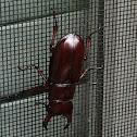 Reddish-Brown Stag Beetle