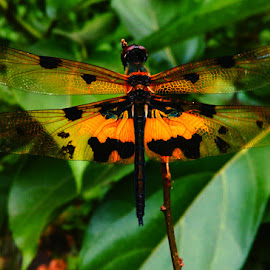 yellow striped flutter dragonly by Abhishek Konale - Instagram & Mobile Android