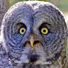 A Close Hoot by  J B  - Animals Birds ( gray owl, raptor, grey owl, close up, portrait )