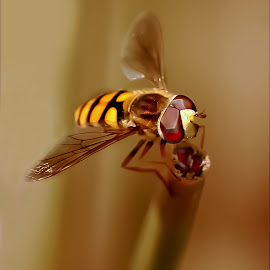 Yellow hoover fly by Lize Hill - Animals Insects & Spiders (  )