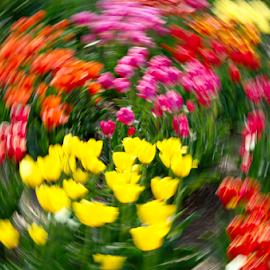Tulip swirl by Mike Bing - Digital Art Things ( limmen, tulip fields, red, purple, holland, tulip, hortus bulborum, pink, yellow, tulips, netherlands )