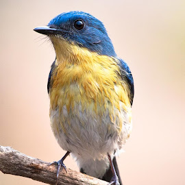 Tickell's Blue Flycatcher by Sanjay Nagaonkar - Animals Birds
