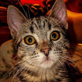 Saphira by Stephanie Örjas - Animals - Cats Kittens ( kitten, cat, tiger, whiskers, animal,  )