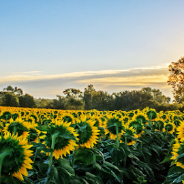 The Sun Worshipers  by Kevin Anderson - Landscapes Prairies, Meadows & Fields ( clouds, beatiful, peaceful, sunflowers, green, agriculture, yellow, worship, rural, crop, sun, rows, sunburst, blue sky, serene, feild, trees, sunrise, flowers, kansas )