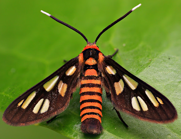 Tiger Moth Insect http://www.projectnoah.org/spottings/8533401