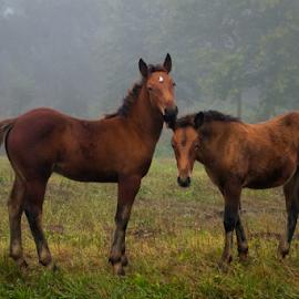 Brothers by Oliver Švob - Animals Horses ( stallion, canon, europe, horses, colt, horse, croatia, farming, farm, foggy, stallions, nature, fog, stud, mist )