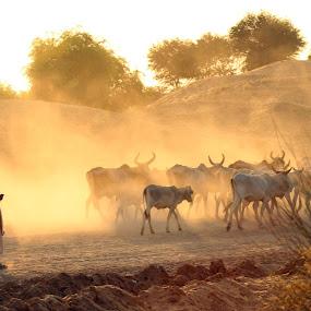 The golden time at Thar Desert  by Fawad Hashmi - Landscapes Deserts ( love, dawn, desert, nature, cow, cattle, landscape, light, dusk, animal, , golden hour, sunset, sunrise, Travel, People, Lifestyle, Culture )