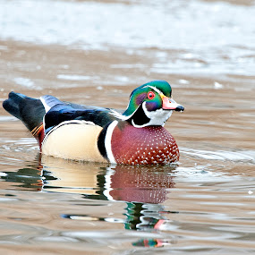 wood duck 2015 by Cody Hoagland - Animals Birds ( duck )
