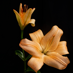 Lillies by Cristobal Garciaferro Rubio - Flowers Flower Arangements