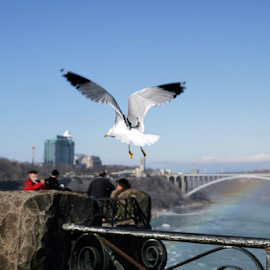 Bird at Niagara by Renée Politzer Nass - Landscapes Travel ( bird, waterfalls, bluesky, niagara, bridges )