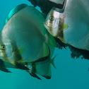Orbicular Batfish/Spadefish
