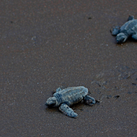 Olive Ridley Turtle by Ajinkya Kulkarni - Animals Sea Creatures ( nature, sea, baby, beach, turtle,  )