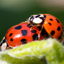 Asian lady beetle