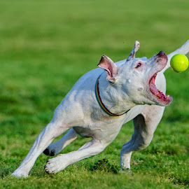 Got it! by David Freese - Animals - Dogs Playing ( austin, zilker park, park, town lake, action, dog )