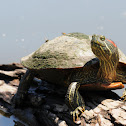 Red-eared slider (female)