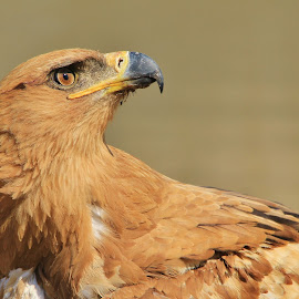Tawny Eagle - Looking at Heaven by Dries Alberts - Animals Birds ( freedom, stare, yellow, backdrop, striking, predator, free, curious, inspiration, nature, iconic, wonder, power, raptor, black, markings, wild, eagle, alert, majestic, symbolic, powerful, grace, magnificent, strong, outdoors, tranquility, golden, senses, unique, colorful, tawny eagle, splendor, screensaver, wildlife, super, tranquil, pose, life, harmony, coloration, africa, inspire, classic, animal, look, icon, avian, beautiful, plumage, tawny, fantastic, represent, bird, pattern, color, elegant, background, brown,  )