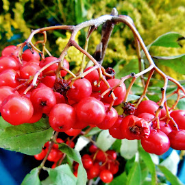 ROWAN FRUITS by Wojtylak Maria - Food & Drink Fruits & Vegetables ( nature, tree, fruits, rowan )