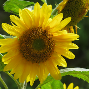 Sunflower by Shishir Desai - Flowers Single Flower ( sunflower, india, flower, Hope,  )