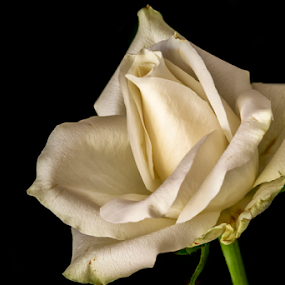 White Rose by Stuart Wilson - Flowers Single Flower ( black background, rose, white petal, flower )