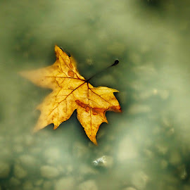 Autumn leaf by Maja  Marjanovic - Nature Up Close Leaves & Grasses ( grasses, nature, autumn, leaf, leaves )