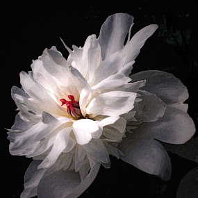 Peony by Paul Griffin - Flowers Single Flower ( delicate, art, white, peony, light )