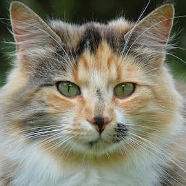 by Anna Birch - Animals - Cats Portraits (  )