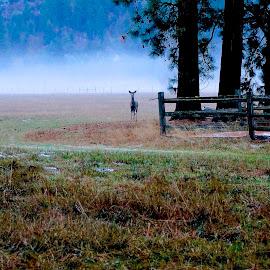 Deer in the Mist by Barbara Brock - City,  Street & Park  Vistas ( field, fog, meadow, trees, mist, deer )
