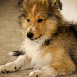 Beau by Wendy Allport - Animals - Dogs Puppies ( pet portrait, collie, rough collie, pet, fine art, lassie, puppy, dog, animal )