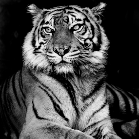 by Martin Marthadinata - Black & White Animals