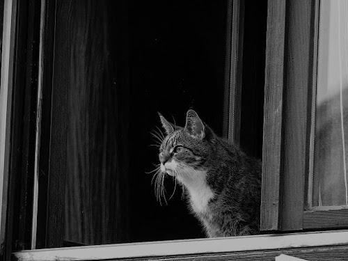 Maca by Renato Dibelčar - Animals - Cats Portraits ( katze, window, outdoor, blackwhite, kitty, animal, mačka )