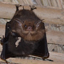 Lesser sac-winged bat