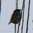 House Sparrow; Gorrion Común