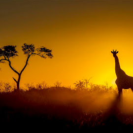 by Pierre Bassani - Landscapes Sunsets & Sunrises ( african, south africa, wildlife, travel, landscape, photo, photography, photooftheday, colourful, sky, nature, giraffe, sunset, sunsets, trees, sunrise, nikon, africa, animal )