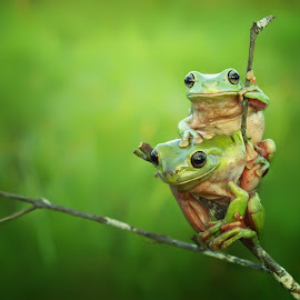 ,,, searching by Vianz . - Animals Amphibians ( nature, morning, frogs, froglover, animal )