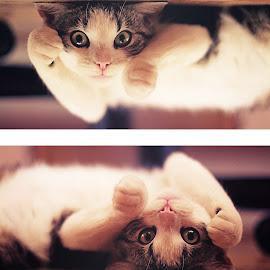 Pj the cat  by Sonja Grubešić - Animals - Cats Playing ( playing, cat, animal )