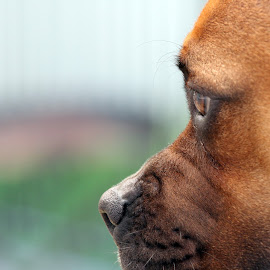 Jesse in focus by Rita Jaber Youssef - Animals - Dogs Portraits ( love, canon, staffy, boxer, focus, puppy, dog )