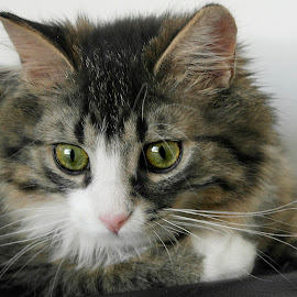 Bandit by Deanna Ramsay - Animals - Cats Portraits ( cats, animals, pets, longhair, tabby )