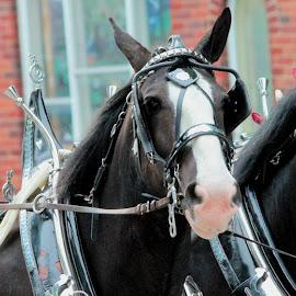 Parade Horses by Sue Ferneau Thompson - Animals Horses ( parade, horses, drive, beautiful, horse, hitch )