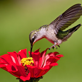 Hummingbird 4 by Dan Ferrin - Animals Birds ( bird, nature, hummingbird, wildlife, birds, humming bird )