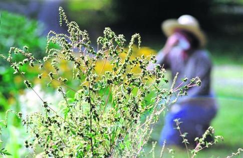 Может ли при аллергии на амброзию быть температура