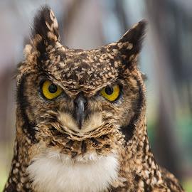 African Owl by Eva Lechner - Animals Birds ( bird, african owl, close-up, portrait )