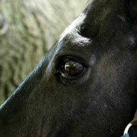window to my soul by Sue Connor - Animals Horses ( horse, extreme close up, horse eye, eyes )