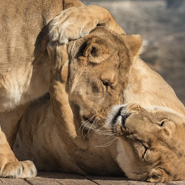 Two Lioness playing by Joe Neely - Animals Lions, Tigers & Big Cats ( lions hugging, african, lioness, two lioness playing )
