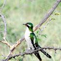 Diederik Cuckoo (male)